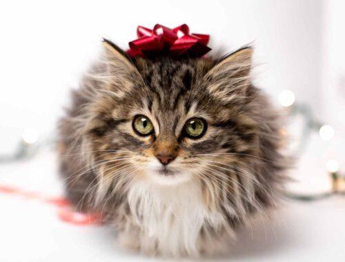 Quando-si-celebra-la-festa-del-gatto